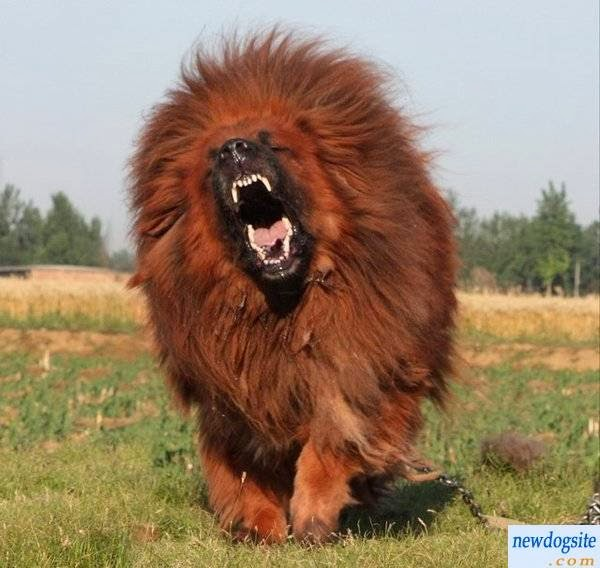 Mastiff that looks like a lion