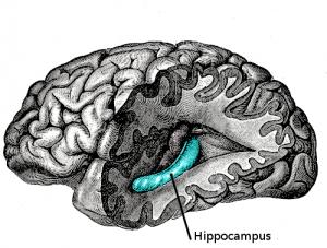 hippocampus-300x227